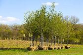 Trees Planting — Stock Photo