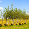 Stock Photo: Trees Planting