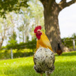 Stock Photo: Rooster