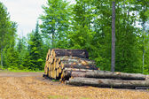 Felled tree in the forest — Stock Photo