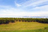 Kersen boomgaard met blauwe hemel — Stockfoto