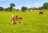 Beautiful horses on american farm — Stock Photo