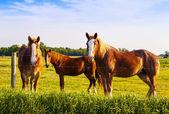 Beautiful horses during sunset — Stok fotoğraf