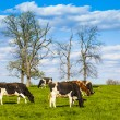 Cows — Stock Photo