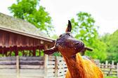 Cabra feliz — Foto de Stock
