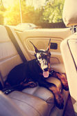 Dog in Old Cabriolet — Stockfoto