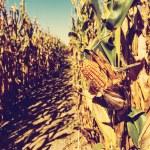 Corn Field — Stock Photo #51294655