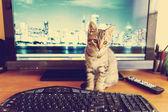 Business Kitty — Stock Photo