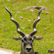 Stock Photo: Gazelle released