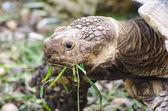 草を食べる亀 — ストック写真