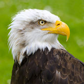The gaze of the eagle in Cabarceno — Stock Photo
