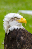 The gaze of the eagle — Stock Photo