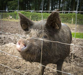 Wild boar behind fence — Stock Photo