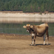Calf by the lake — Stock Photo