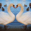 Two beautiful swan — Stock Photo