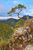 Le pin relique au sommet de la montagne de sokolica. — Photo