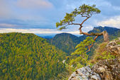 Relic pine at top of The Sokolica Mountain. — Stock Photo
