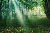 Sun rays between trees in forest — Stock Photo