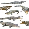 Crocodile isolated — Stock Photo