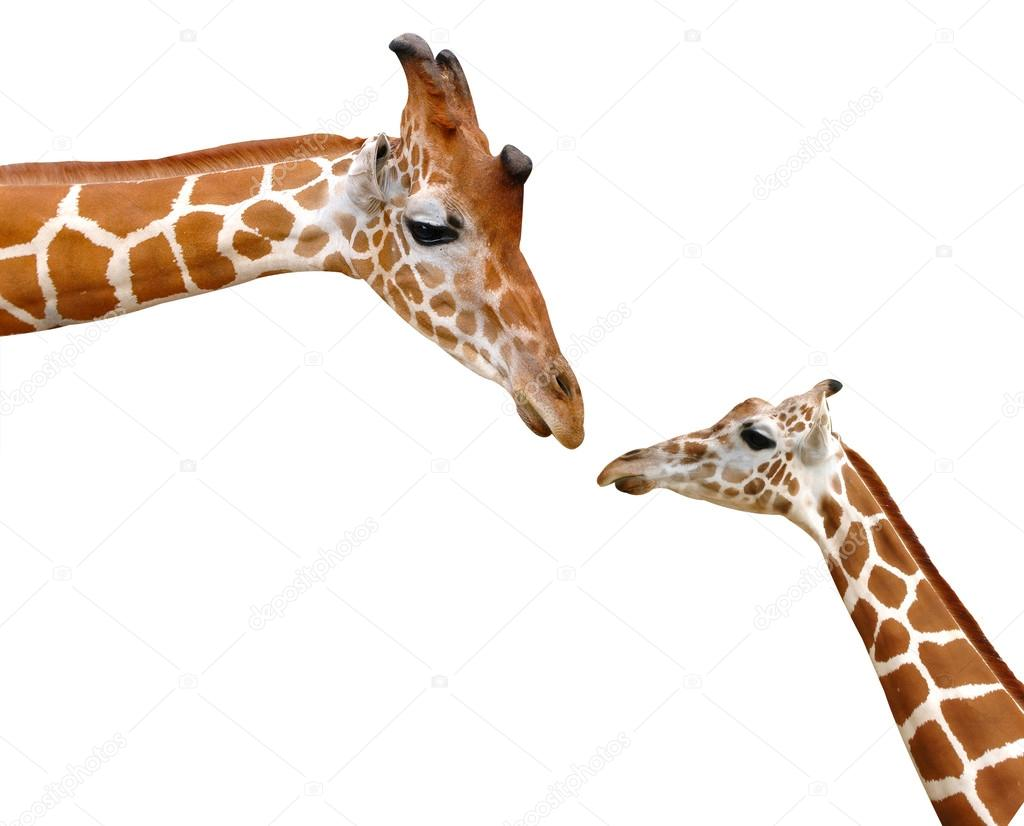 giraffe head white background - photo #17