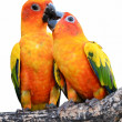 Sun Conure Parrot — Stock Photo #27163757