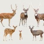 Постер, плакат: Asian deer