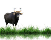 Gaur isolated on white background — Stock Photo