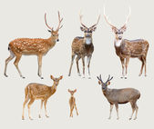 Asian deer — Stock Photo