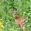 Sika deer fawn — Stock Photo #27355333