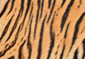 Tiger skin — Stock Photo