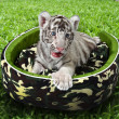 Stock Photo: Baby white tiger laying in mattress