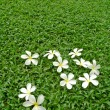 Plumeria flower on green grass — Stock Photo