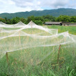 Stock Photo: Rice field with net cover