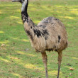 Stock Photo: Emu