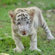 Baby white bengal tiger — Stockfoto