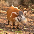 Stock Photo: Red river hog, africwild life