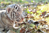 Baby white tigger — Stock Photo