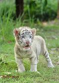 Tigre di bengala bambino bianco — Foto Stock