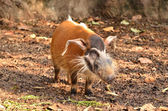 Red river hog, african wild life — Stock Photo