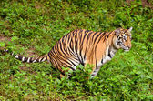 Bengal tiger — Stock Photo