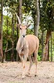 Antilope alcina — Foto Stock