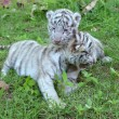 Baby white tiger — Stock Photo #28687649