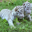 Baby white tiger — Stock Photo #28687753