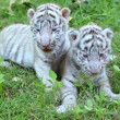 Baby white tiger — Stock Photo #28687859