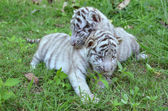 Baby white tiger — Stock Photo