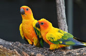 Sun Conure — Stock Photo