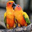 Sun Conure Parrot — Stock Photo #28705337