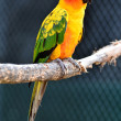 Sun Conure Parrot — Stock Photo #28705357