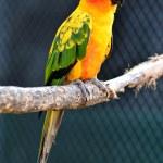 Sun Conure Parrot — Stock Photo #28705357
