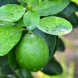Stock Photo: Lime on tree